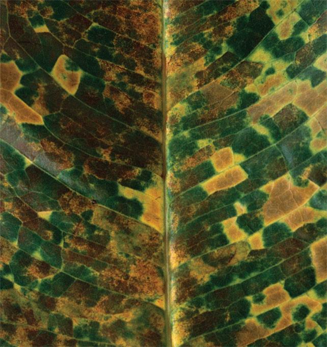 Simryn Gill, Jambu Sea, Jambu Air(2013) offset printed publication, Roygbiv editions, Sydney. Courtesy of the artist. [Reference to Like Leaves (Syzygium grandis), 2015]