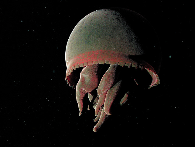 Tiburonia granrojo (The Big Red) This large dark and velvety ball was discovered in 1993 by MBARI researchers in California. It is so different from other jellies that biologists had to create a new subfamily for it, called the Tiburoniinae, after the Tiburon, the robot that discovered them. To capture its prey, it does not use stinging tentacles, as do the majority of jellies. Rather, it deploys long fleshy arms whose number varies, curiously, between four and seven. Very little is currently known about this creature. © 2002 MBARI